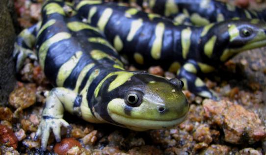 Salamandra_Tigre