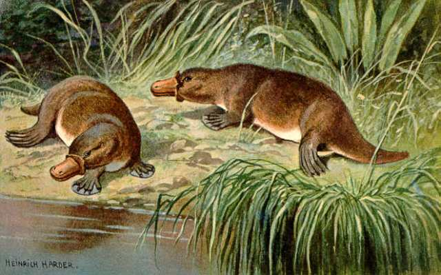 Duck_billed_platypus_schnabeltier