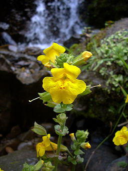 Yellow_monkeyflower
