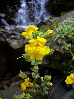 Yellow_monkeyflower